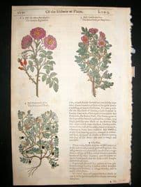 Gerards Herbal 1633 Hand Col Botanical Print. Eglantine, Brair & Pimpinell Rose