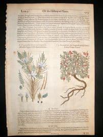 Gerards Herbal 1633 Hand Col Botanical Print. Egyptian & Goats Thorn