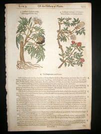 Gerards Herbal 1633 Hand Col Botanical Print. Elder Tree