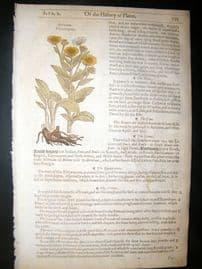 Gerards Herbal 1633 Hand Col Botanical Print. Elecampane, Sauce alone
