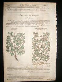 Gerards Herbal 1633 Hand Col Botanical Print. Fenugreek, Trefoil