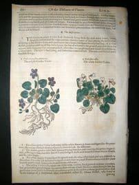 Gerards Herbal 1633 Hand Col Botanical Print. Garden Violet