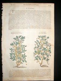 Gerards Herbal 1633 Hand Col Botanical Print. Garden & Wild Bean
