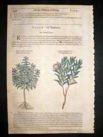 Gerards Herbal 1633 Hand Col Botanical Print. Garden & Wild Rosemary