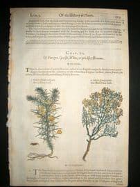 Gerards Herbal 1633 Hand Col Botanical Print. Genistella, Furze