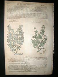 Gerards Herbal 1633 Hand Col Botanical Print. Goosegrass