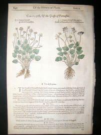 Gerards Herbal 1633 Hand Col Botanical Print. Grass Parnassus, Mountain Bindweed