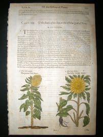 Gerards Herbal 1633 Hand Col Botanical Print. Greater & Lesser Sun Flower