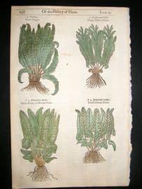 Gerards Herbal 1633 Hand Col Botanical Print. Hart's Tongue & Moon Ferns