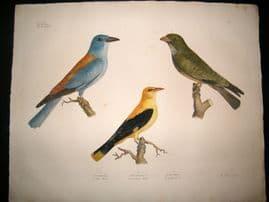 Goldfuss C1830 LG Folio Hand Col Bird Print. European Roller, Golden Oriole
