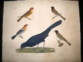 Goldfuss C1830 LG Folio Hand Colored Bird Print. Buntings, Tangara