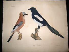 Goldfuss C1830 LG Folio Hand Colored Bird Print. Magpie & Eurasian Jay