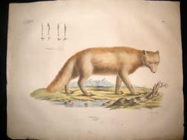 Goldfuss C1830 LG Folio Hand Colored Print. Arctic Fox