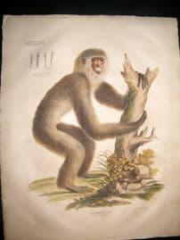 Goldfuss C1830 LG Folio Hand Colored Print. Gibbon Monkey
