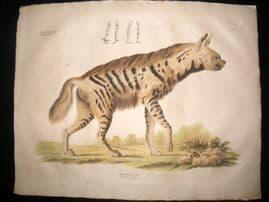 Goldfuss C1830 LG Folio Hand Colored Print. Hyena