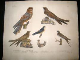 Goldfuss C1830 LG HC Bird Print. European Nightjar, Alpine Swift & Swallow