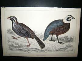 Goldsmith C1850 Antique Hand Col Bird Print. Quail