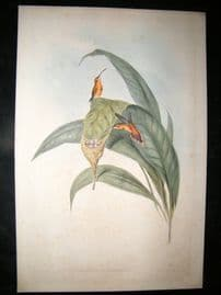 Gould Family of Hummingbirds C1860 Folio HC Bird Print. Little Hermit