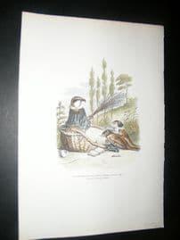Grandville des Animaux 1842 Hand Col Print. Stepmother Bird & Slave Daughters