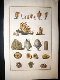 Gualtieri 1742 Folio Hand Col Shell Print. Pl 106