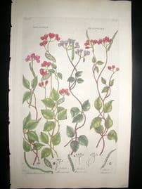 Hill C1760 Folio Hand Col Botanical Print. Dolichos Beanwort 16