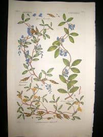 Hill C1760 Folio Hand Col Botanical Print. Glycine Liquorell 5