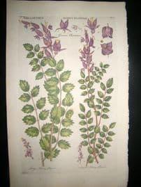 Hill C1760 Folio Hand Col Botanical Print. Mellanthus Honey Flower 53