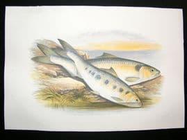 Houghton 1879 Folio Antique Fish Print Allis Shad, Twaite Shad