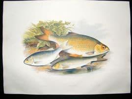 Houghton 1879 Folio Antique Fish Print Azurine, Dobule, Rudd