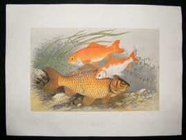 Houghton 1879 Folio Antique Fish Print Golden & Bronze Carp