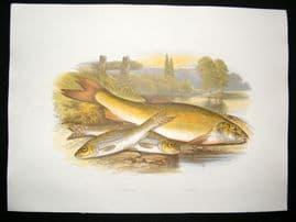 Houghton 1879 Folio Antique Fish Print Gudgeon, Barbel