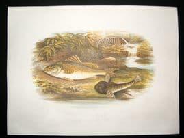 Houghton 1879 Folio Antique Fish Print Ruffe & Miller's Thumb