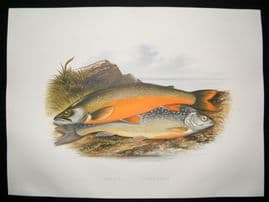Houghton 1879 Folio Antique Fish Print Torgoch, Alpine Charr