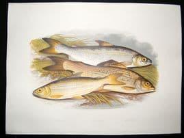 Houghton 1879 Folio Antique Fish Print Vendace, Gwyniad, Grayling