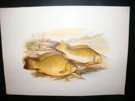 Houghton 1879 Folio Antique Fish Print. Crucian Carp & Prussian Carp