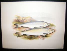 Houghton 1879 Folio Antique Fish Print. Pollan, Powan