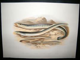 Houghton 1879 Folio Antique Fish Print. Sea Lamprey, Lampern, Pride