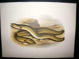 Houghton 1879 Folio Antique Fish Print. Sharp Nosed & Braod Nosed Eel