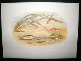 Houghton 1879 Folio Antique Fish Print. Sticklebacks