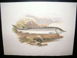 Houghton 1879 Folio Antique Fish Print. Sturgeon