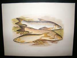 Houghton 1879 Folio Antique Fish Print. Vendace, Gwyniad, Grayling