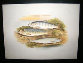 Houghton 1879 Folio Antique Fish Print. Young Trout, Salmon Parr, Smelt
