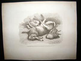 Howitt 1811 Antique Etching. Rabbit & Birds