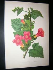 James Anderson 1874 Antique Botanical Print. Lophospermum Scandens