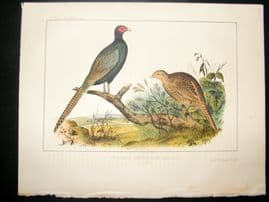 Japan Perry Expedition 1856 Antique Hand Col Bird Print. Green Pheasant 1