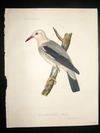 Japan Perry Expedition 1856 Antique Hand Col Bird Print. Heterornis Sericea 5