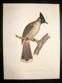 Japan Perry Expedition 1856 Antique Hand Col Bird Print. Ixos Haemorrhous. Jay? 6