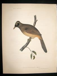 Japan Perry Expedition 1856 Antique Hand Col Bird Print. Masked Laughingthrush 4