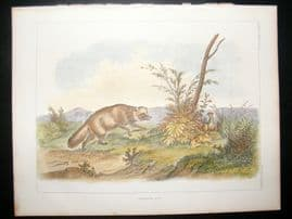 Japan Perry Expedition 1856 Antique Hand Col Print. Japanese Fox 2