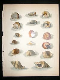 Japan Perry Expedition 1856 Antique Hand Col Print. Shells 5